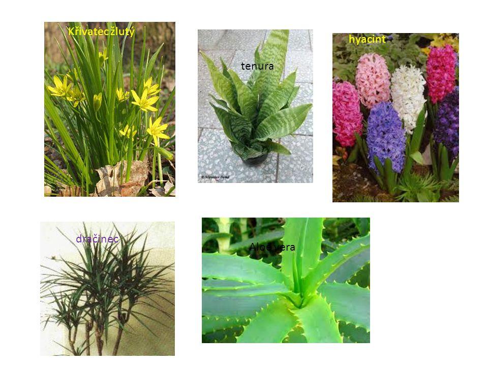 Křivatec žlutý dračinec tenura Aloe vera hyacint