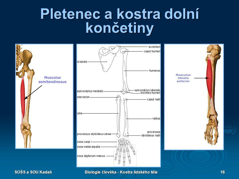 SOŠS a SOU KadaňBiologie člověka - Kostra lidského těla16 Pletenec a kostra dolní končetiny