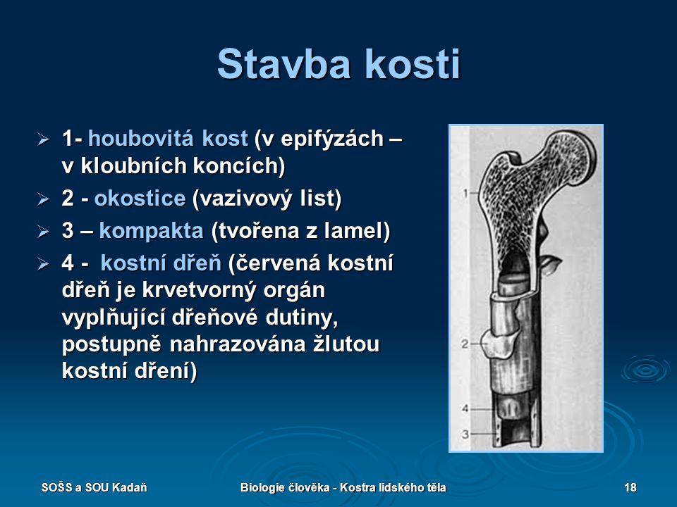 SOŠS a SOU KadaňBiologie člověka - Kostra lidského těla18 Stavba kosti  1- houbovitá kost (v epifýzách – v kloubních koncích)  2 - okostice (vazivov