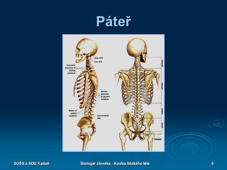 SOŠS a SOU KadaňBiologie člověka - Kostra lidského těla6 Obratle (vertebrae)  Tělo  Obratlový oblouk  Výběžky příčné  Výběžky trnové (odstup hřbetních svalů)  Výběžky kloubní (vzájemný pohyb obratlů a pohyblivost celé páteře)  Jiná stavba: 1.