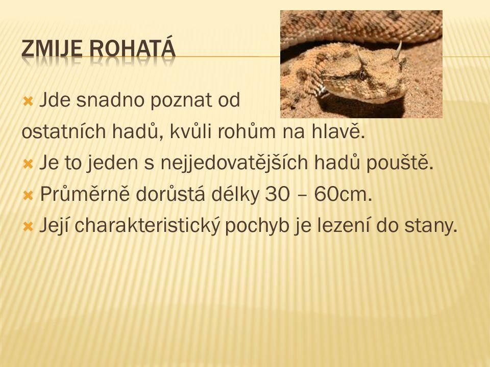 Jde snadno poznat od ostatních hadů, kvůli rohům na hlavě.