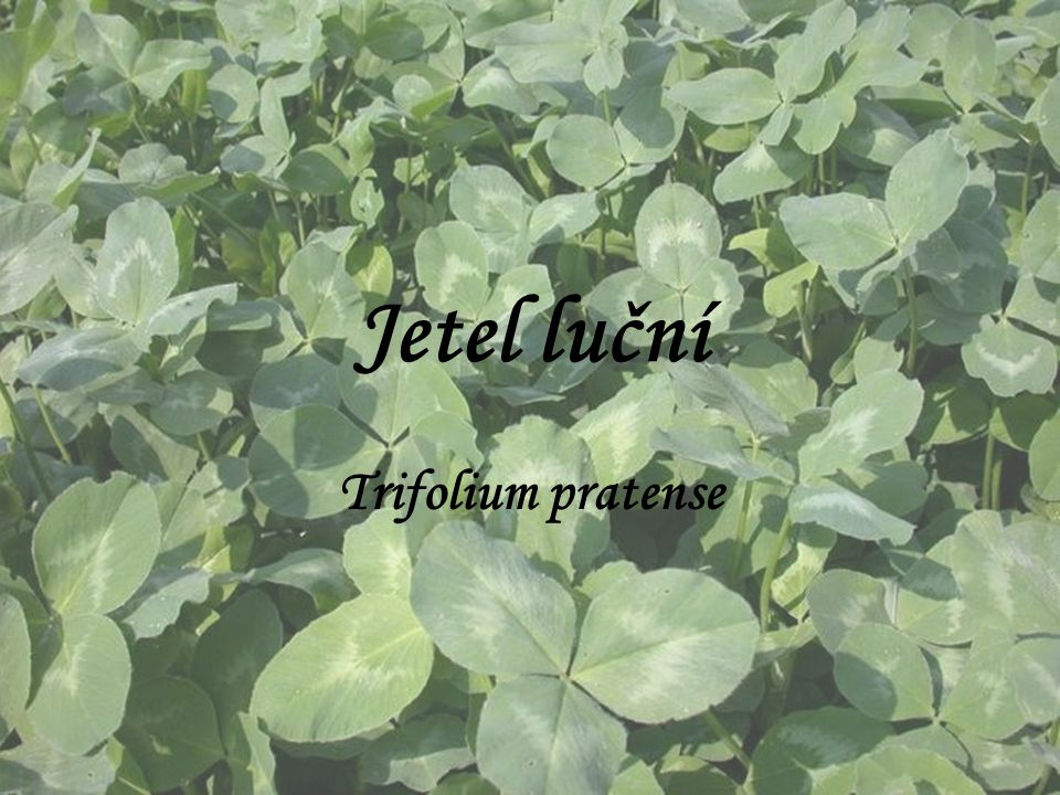 Jetel luční Trifolium pratense