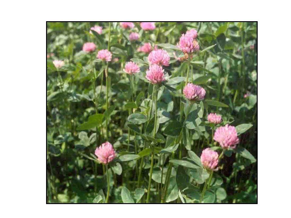 Biologické vlastnosti jetele Květenství: tvoří hlávky červené nebo sytě růžové barvy.