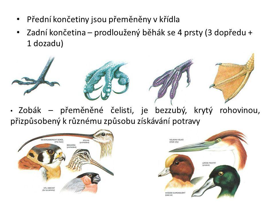 Přední končetiny jsou přeměněny v křídla Zadní končetina – prodloužený běhák se 4 prsty (3 dopředu + 1 dozadu) Zobák – přeměněné čelisti, je bezzubý, krytý rohovinou, přizpůsobený k různému způsobu získávání potravy