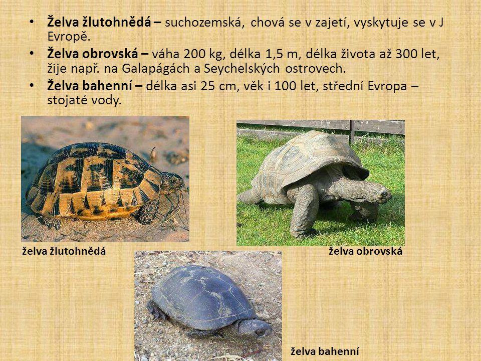 Želva žlutohnědá – suchozemská, chová se v zajetí, vyskytuje se v J Evropě.
