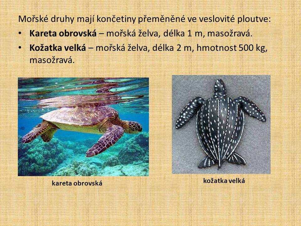 Mořské druhy mají končetiny přeměněné ve veslovité ploutve: Kareta obrovská – mořská želva, délka 1 m, masožravá.