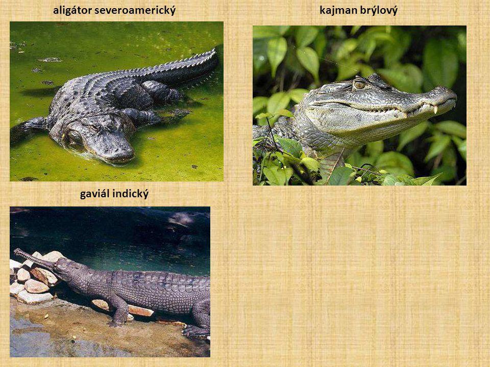 aligátor severoamerickýkajman brýlový gaviál indický