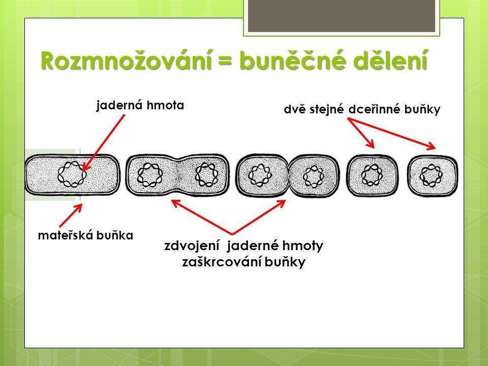 Rozmnožování = buněčné dělení mateřská buňka jaderná hmota zdvojení jaderné hmoty zaškrcování buňky dvě stejné dceřinné buňky