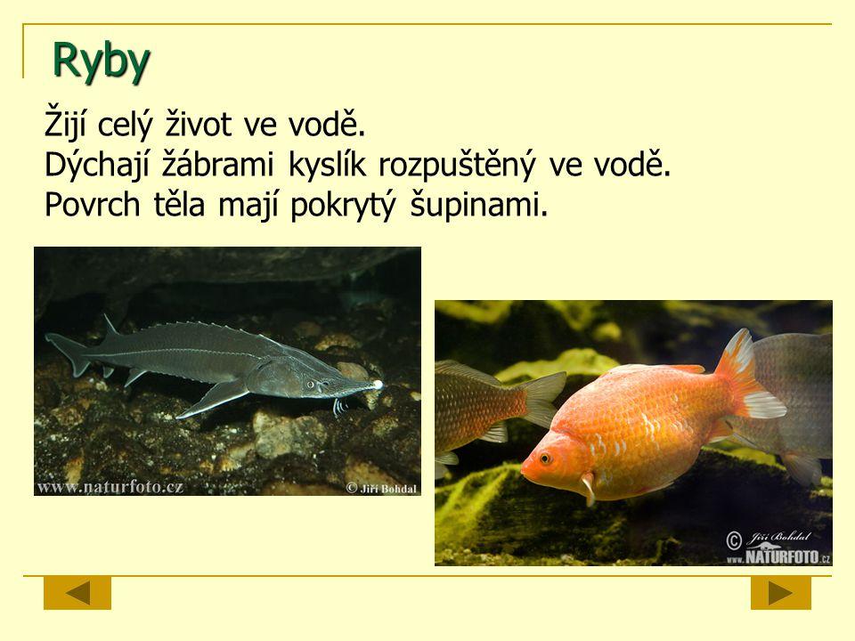 Ryby Žijí celý život ve vodě. Dýchají žábrami kyslík rozpuštěný ve vodě. Povrch těla mají pokrytý šupinami.
