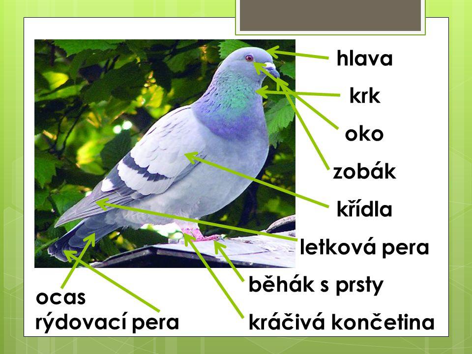 hlava krk oko zobák křídla letková pera běhák s prsty kráčivá končetina ocas rýdovací pera