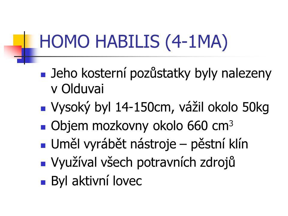HOMO HABILIS (4-1MA) Jeho kosterní pozůstatky byly nalezeny v Olduvai Vysoký byl 14-150cm, vážil okolo 50kg Objem mozkovny okolo 660 cm 3 Uměl vyrábět