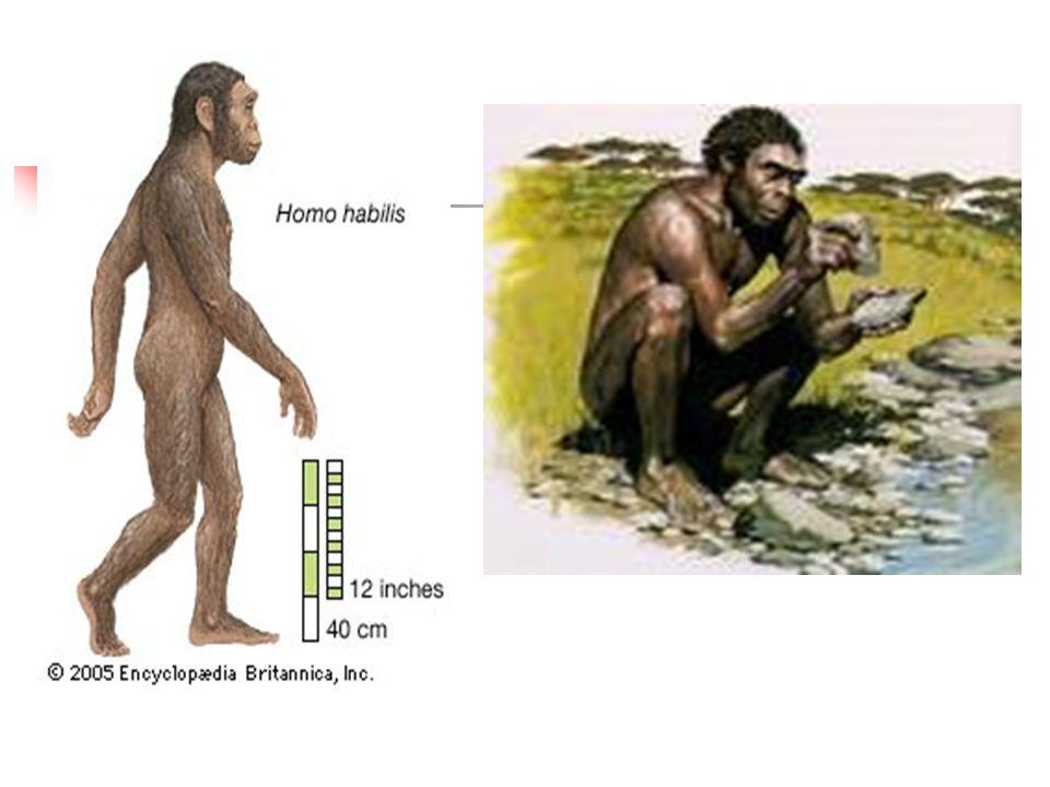 HOMO SAPIENS: 1. Poddruh H. s. neadrthalensis 2. Poddruh H.s.sapiens