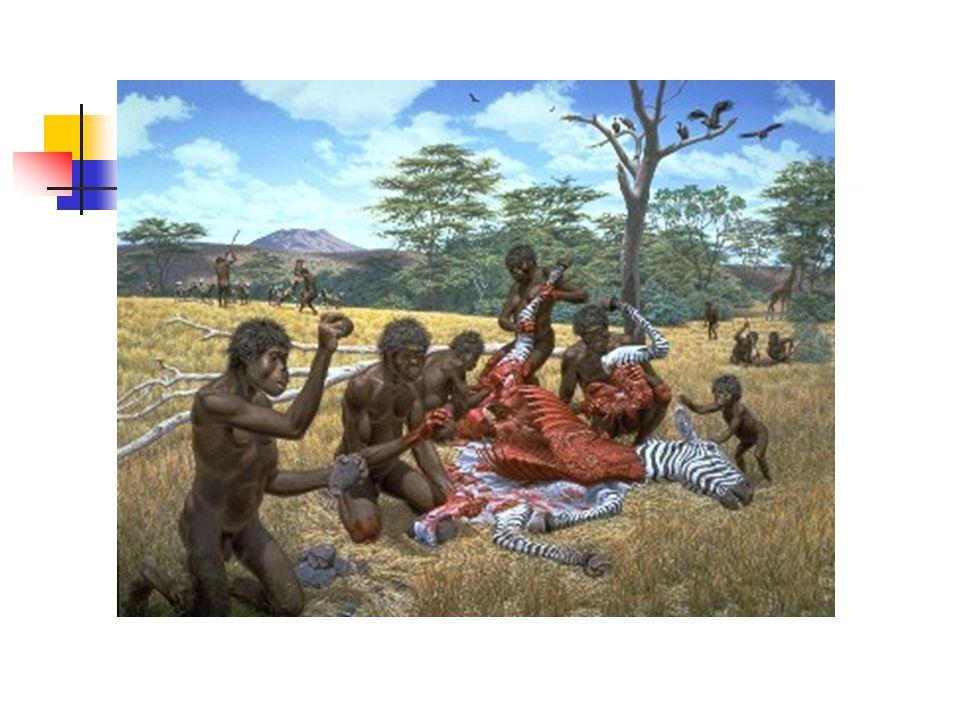 HOMO ERECTUS (1,8-300 000) 150-170 cm Mozkovna (900 cm 3,max 1250) Nizozemský lékař Deboise hledal na nálezy na Sumatře, kde nebyl úspěšný.