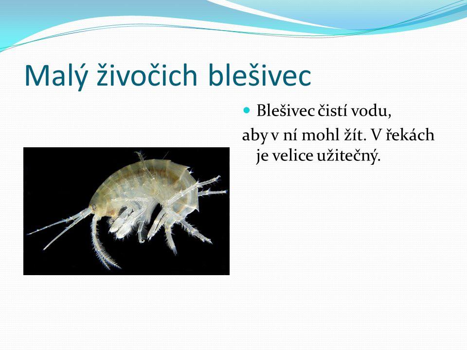 Malý živočich blešivec Blešivec čistí vodu, aby v ní mohl žít. V řekách je velice užitečný.