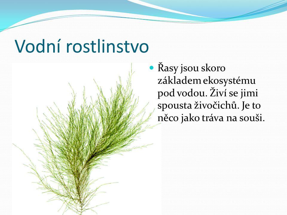 Vodní rostlinstvo Řasy jsou skoro základem ekosystému pod vodou. Živí se jimi spousta živočichů. Je to něco jako tráva na souši.