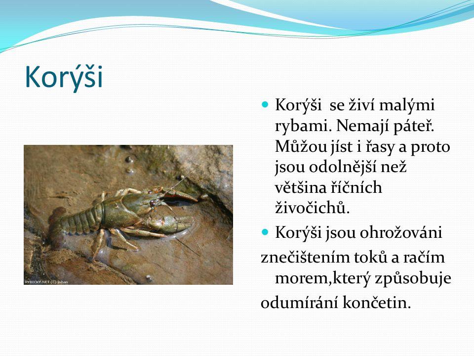 Korýši Korýši se živí malými rybami. Nemají páteř. Můžou jíst i řasy a proto jsou odolnější než většina říčních živočichů. Korýši jsou ohrožováni zneč