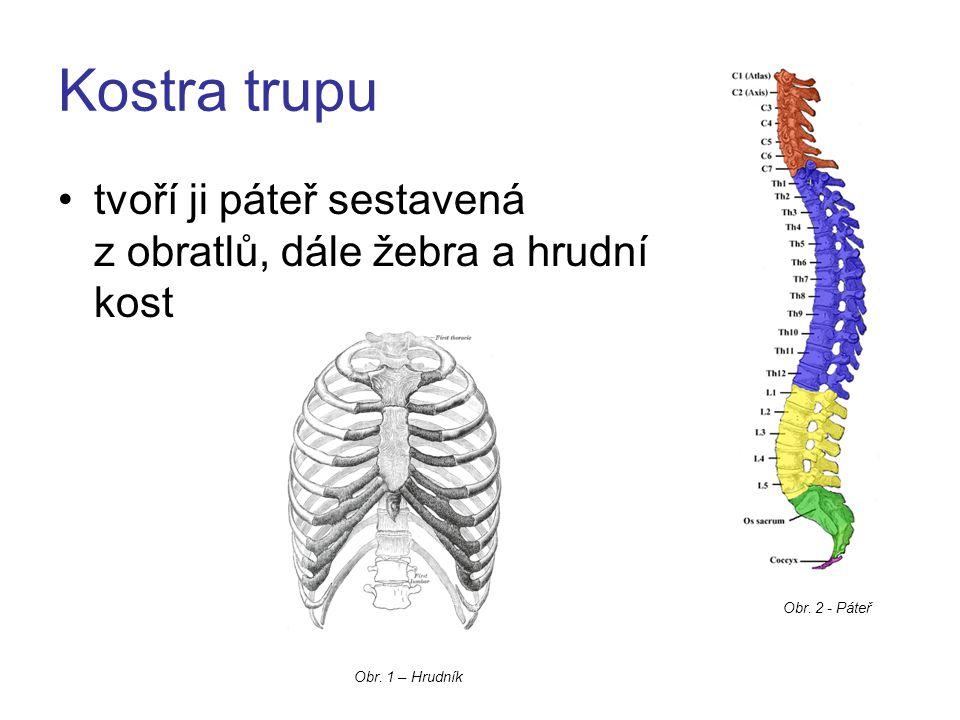Kostra trupu tvoří ji páteř sestavená z obratlů, dále žebra a hrudní kost Obr. 1 – Hrudník Obr. 2 - Páteř