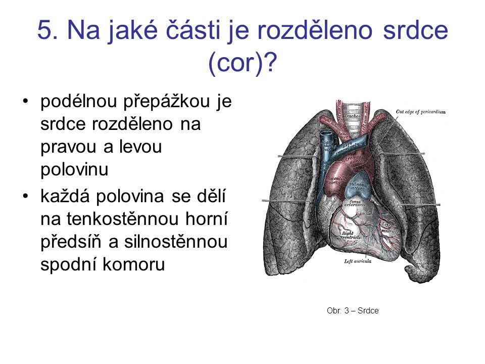 5. Na jaké části je rozděleno srdce (cor)? podélnou přepážkou je srdce rozděleno na pravou a levou polovinu každá polovina se dělí na tenkostěnnou hor