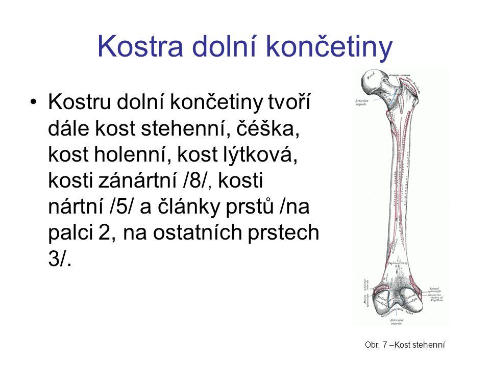 Kostra dolní končetiny Kostru dolní končetiny tvoří dále kost stehenní, čéška, kost holenní, kost lýtková, kosti zánártní /8/, kosti nártní /5/ a články prstů /na palci 2, na ostatních prstech 3/.