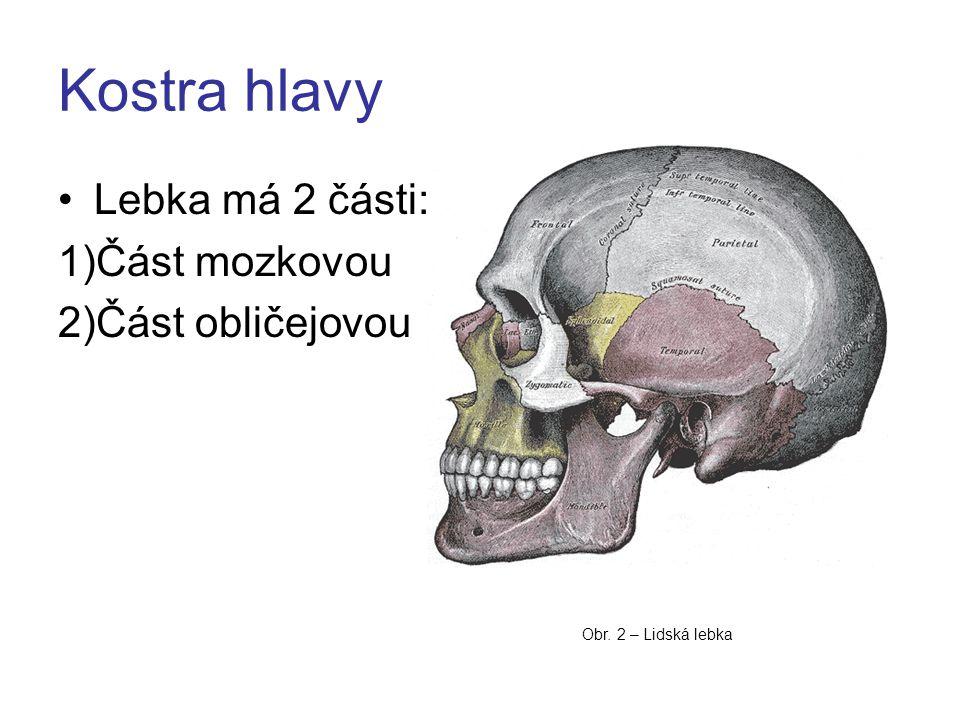 Kostra hlavy Lebka má 2 části: 1)Část mozkovou 2)Část obličejovou Obr. 2 – Lidská lebka