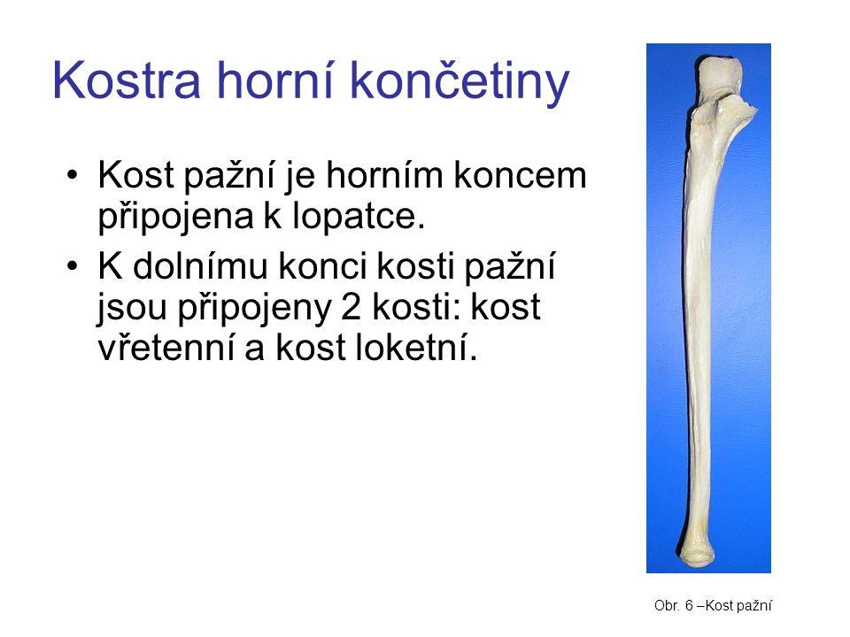 Kost pažní je horním koncem připojena k lopatce. K dolnímu konci kosti pažní jsou připojeny 2 kosti: kost vřetenní a kost loketní. Kostra horní končet