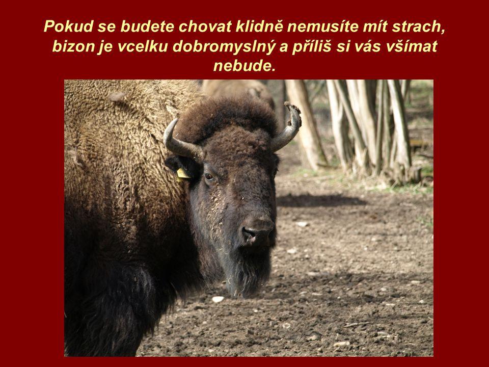 Pokud se budete chovat klidně nemusíte mít strach, bizon je vcelku dobromyslný a příliš si vás všímat nebude.