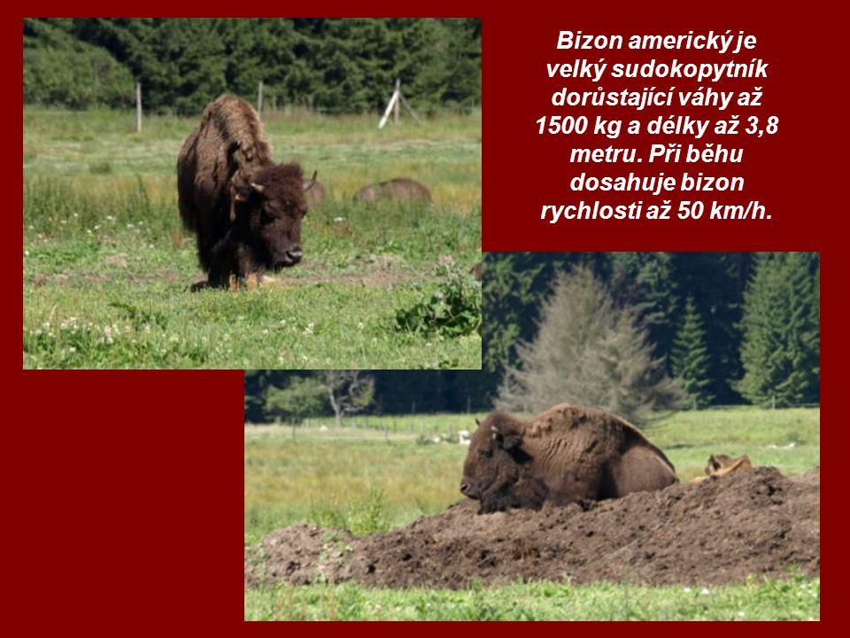 Bizon americký je velký sudokopytník dorůstající váhy až 1500 kg a délky až 3,8 metru. Při běhu dosahuje bizon rychlosti až 50 km/h.