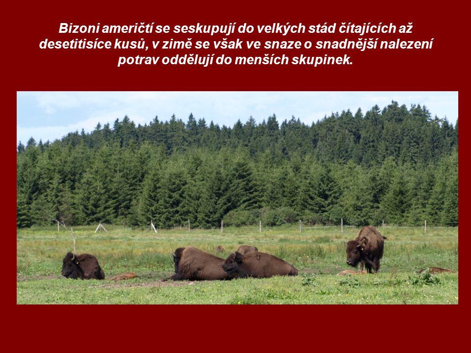 Bizoni američtí se seskupují do velkých stád čítajících až desetitisíce kusů, v zimě se však ve snaze o snadnější nalezení potrav oddělují do menších