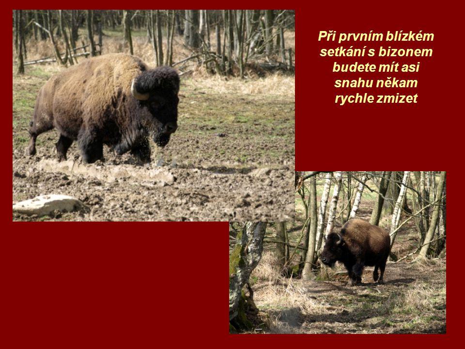 Při prvním blízkém setkání s bizonem budete mít asi snahu někam rychle zmizet