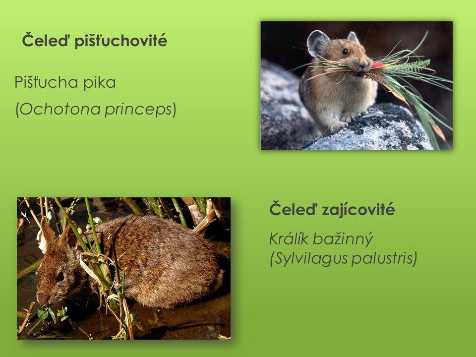 Čeleď pišťuchovité Pišťucha pika (Ochotona princeps) Čeleď zajícovité Králík bažinný (Sylvilagus palustris)