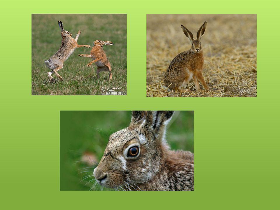 Pišťuchovití Mají velice kráté uši a nemají ocas Někdy je možno si je zaměnit s morčaty Vyskytují se v Asii a Severní Americe v odlehlých stepích Dělají si zásoby ze sušených rostlin Obývají nory a jeskyně Stejně jako zajícovci mají svá teritoria, která si hájí Pohybují se ve skupinách, které jsou vzdáleny podle množství poteravy v daném revíru