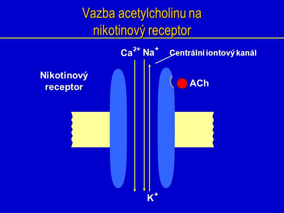 Vazba acetylcholinu na nikotinový receptor Nikotinový receptor ACh K + Na + Ca 2+ Centrální iontový kanál