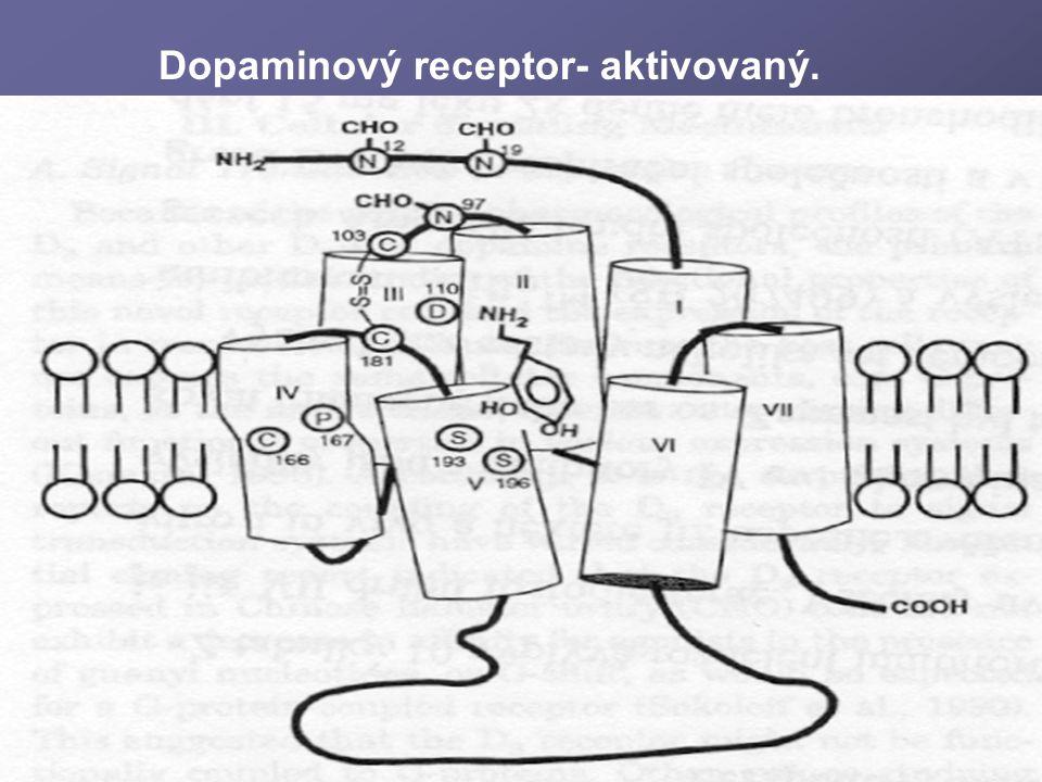 Dopaminový receptor- aktivovaný.