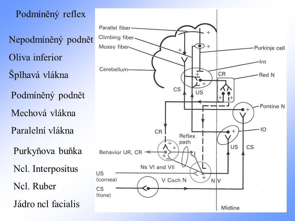 Podmíněný reflex Podmíněný podnět Mechová vlákna Paralelní vlákna Nepodmíněný podnět Oliva inferior Šplhavá vlákna Purkyňova buňka Ncl.