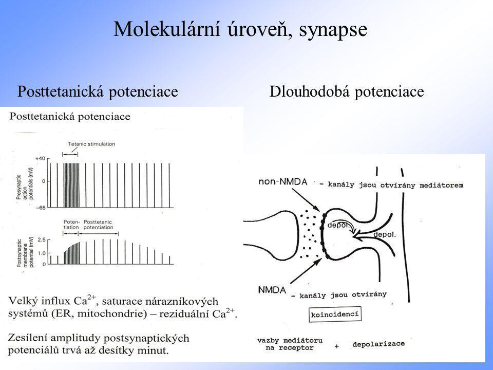 Molekulární úroveň, synapse Posttetanická potenciace Dlouhodobá potenciace