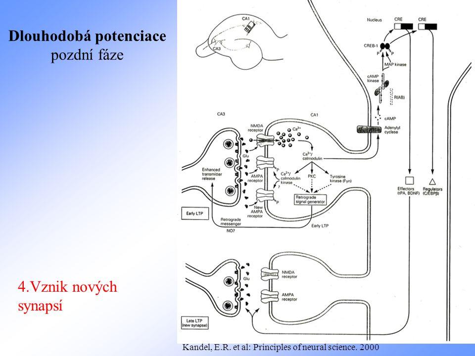 4.Vznik nových synapsí Dlouhodobá potenciace pozdní fáze Kandel, E.R. et al: Principles of neural science. 2000