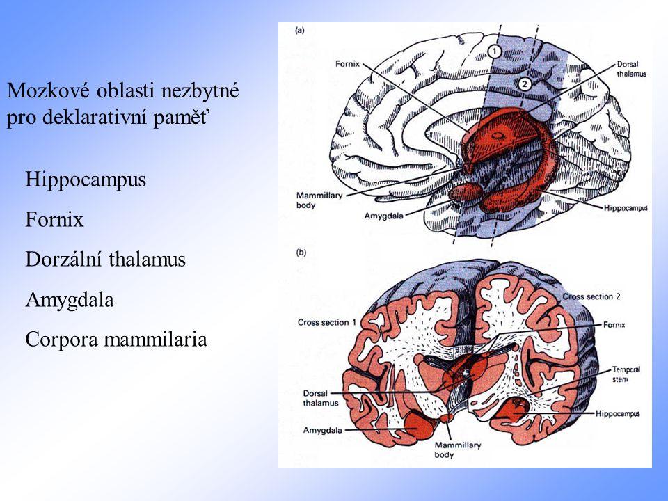 Mozkové oblasti nezbytné pro deklarativní paměť Hippocampus Fornix Dorzální thalamus Amygdala Corpora mammilaria
