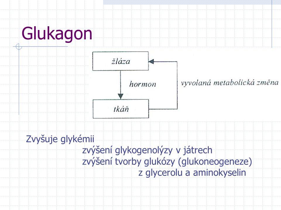 Glukagon Zvyšuje glykémii zvýšení glykogenolýzy v játrech zvýšení tvorby glukózy (glukoneogeneze) z glycerolu a aminokyselin