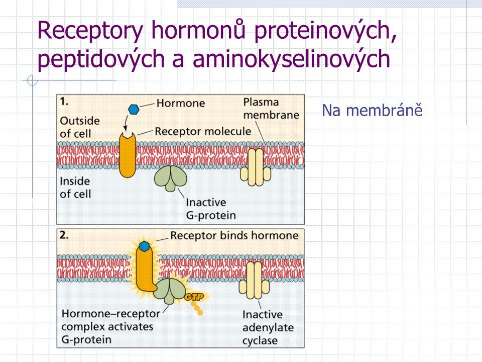 Receptory hormonů proteinových, peptidových a aminokyselinových Na membráně