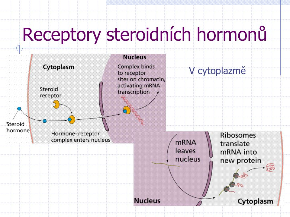 Receptory steroidních hormonů V cytoplazmě
