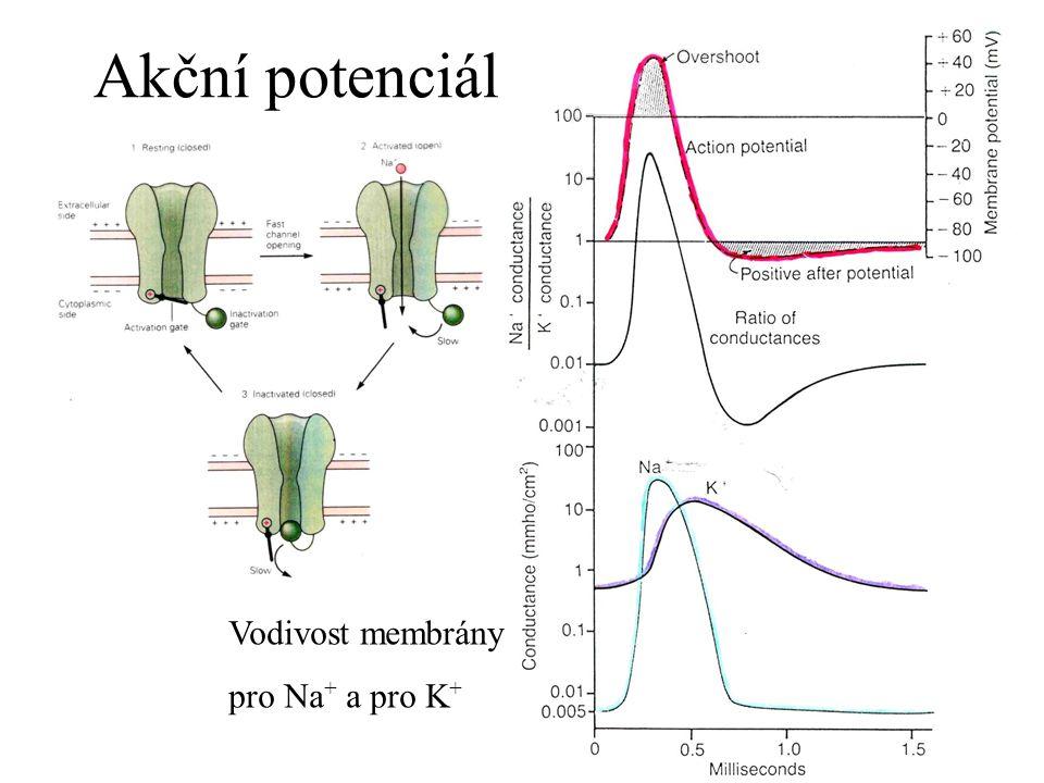 Vodivost membrány pro Na + a pro K + Akční potenciál