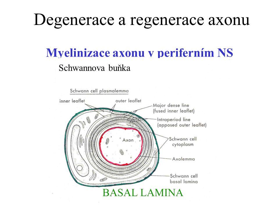 Myelinizace axonu v periferním NS Schwannova buňka Degenerace a regenerace axonu