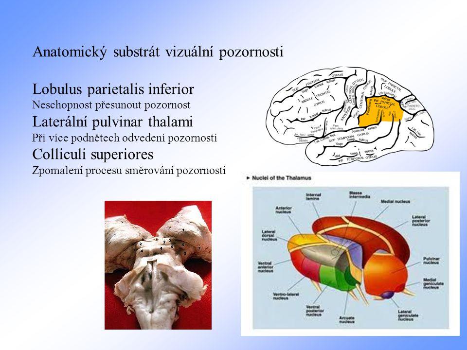 Anatomický substrát vizuální pozornosti Lobulus parietalis inferior Neschopnost přesunout pozornost Laterální pulvinar thalami Při více podnětech odvedení pozornosti Colliculi superiores Zpomalení procesu směrování pozornosti