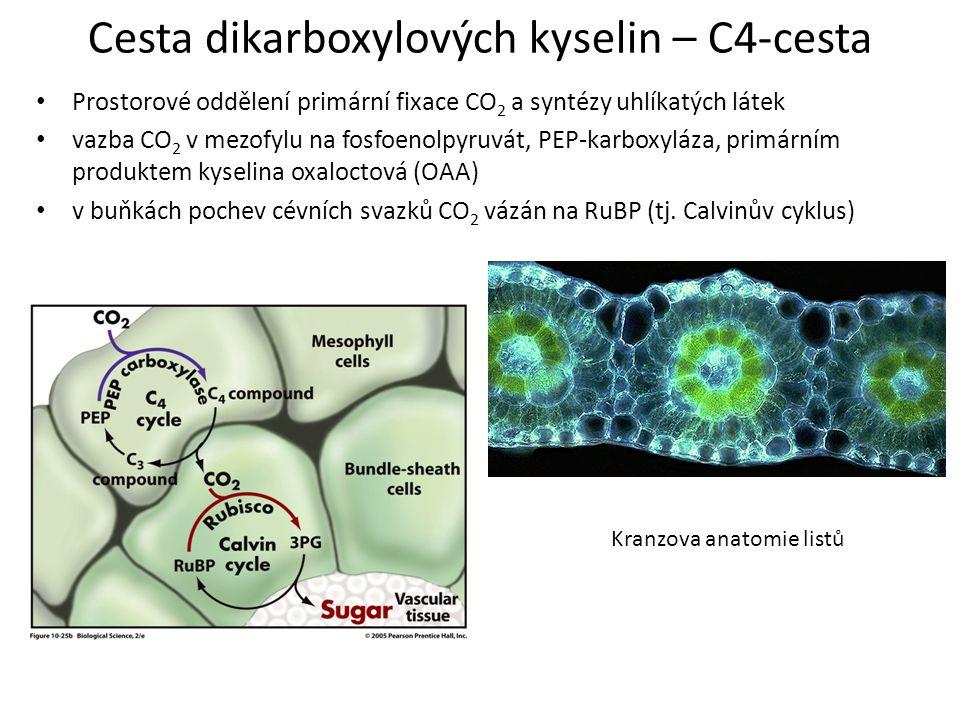 Cesta dikarboxylových kyselin – C4-cesta Prostorové oddělení primární fixace CO 2 a syntézy uhlíkatých látek vazba CO 2 v mezofylu na fosfoenolpyruvát