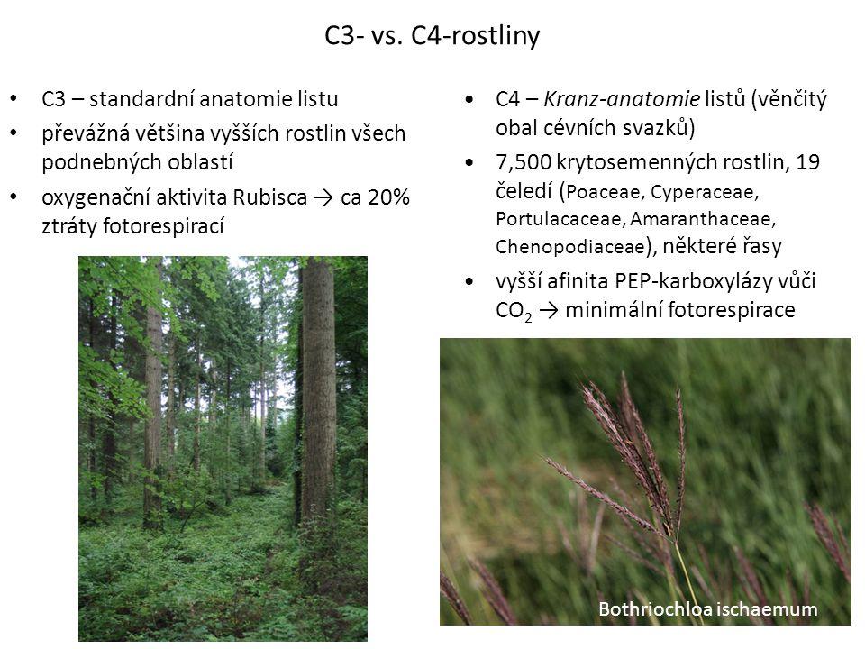 C3 – standardní anatomie listu převážná většina vyšších rostlin všech podnebných oblastí oxygenační aktivita Rubisca → ca 20% ztráty fotorespirací C4