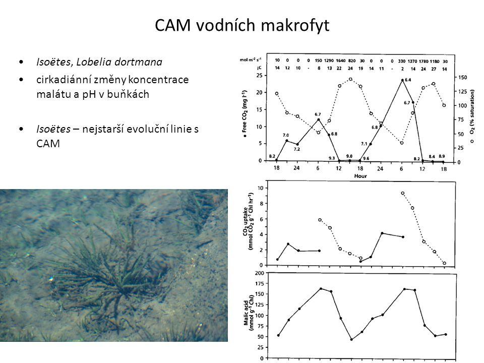 CAM vodních makrofyt Isoëtes, Lobelia dortmana cirkadiánní změny koncentrace malátu a pH v buňkách Isoëtes – nejstarší evoluční linie s CAM