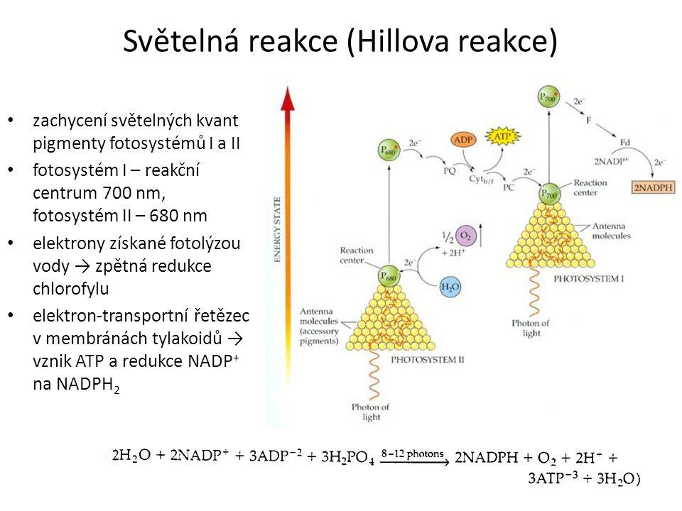 Světelná reakce (Hillova reakce) zachycení světelných kvant pigmenty fotosystémů I a II fotosystém I – reakční centrum 700 nm, fotosystém II – 680 nm