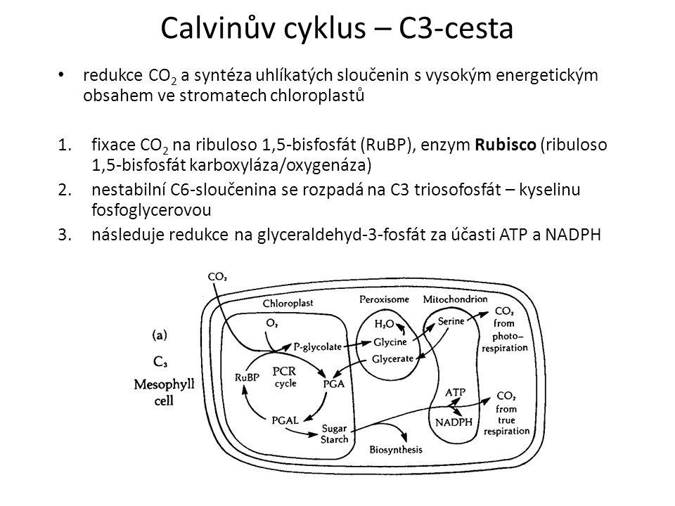 Calvinův cyklus – C3-cesta redukce CO 2 a syntéza uhlíkatých sloučenin s vysokým energetickým obsahem ve stromatech chloroplastů 1.fixace CO 2 na ribu