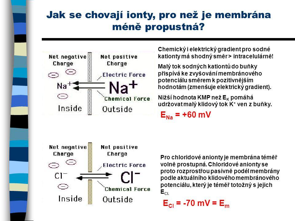 Jak se chovají ionty, pro než je membrána méně propustná? Chemický i elektrický gradient pro sodné kationty má shodný směr > intracelulárně! Malý tok