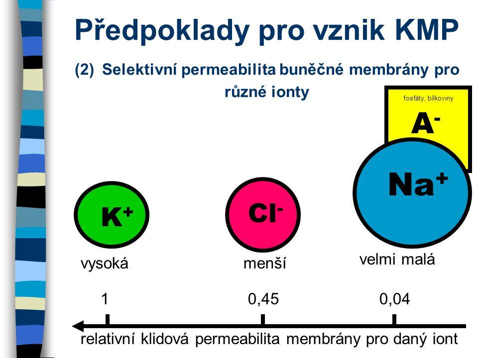 Předpoklady pro vznik KMP (2) Selektivní permeabilita buněčné membrány pro různé ionty K+K+ Cl - A-A- relativní klidová permeabilita membrány pro daný